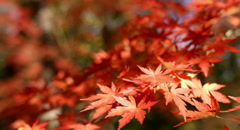 Red maple leaves color graded 4k (4000x2160) Stock Footage
