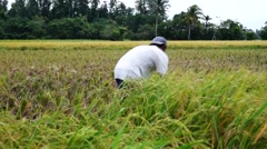 Farm Worker Harvesting Palay Rice Grains Stock Footage