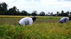 Team Harvesting of Palay Rice Grains Stock Footage