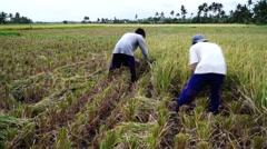 Harvesting Palay Rice Grains Stock Footage