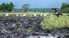 Great Egrets surround Ploughing work Stock Footage