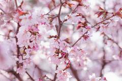 Sakura in bloom close up photo Stock Photos