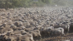Argentina Gauchos - Low angle sheep herding Stock Footage