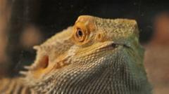 Bearded Dragon Portrait Stock Footage
