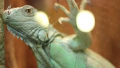 Escaping Iguana - stock footage
