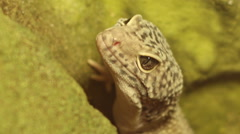 Breathing Reptile Stock Footage