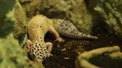 The Leopard Gecko Lizard - stock footage