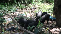 Africa village pigs eating garbage Guinea Bisseau Stock Footage