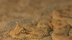 Horned Viper in Sand Stock Footage