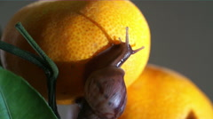 Snail Achatina on citrus trees Stock Footage
