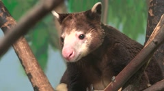 Tree Kangaroo close up Stock Footage