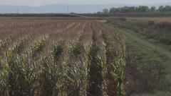 Wide Shot of Rows of Corn Stock Footage