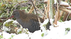 Bird Water Rail hunting worms in muddy marsh in snowy winter Stock Footage