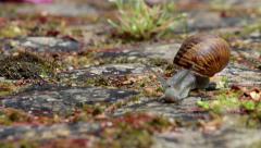 Comum Garden Snail crawling E Stock Footage