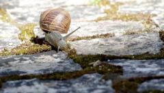 Comum Garden Snail crawling F Stock Footage