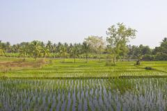rice field and banana plantation - stock photo