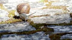 Comum Garden Snail crawling F2 Stock Footage