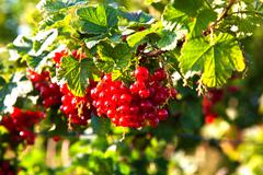 Fresh red tasteful berry hanging on the bush ready for picking Stock Photos