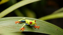 Costa Rica Red-Eyed Tree Frog Stock Footage