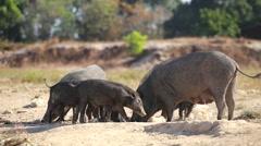 Wild boars (Sus scrofa) Stock Footage