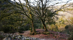 Magic Forest of Trees Covered With Moss in a Mountain Gorge Stock Footage