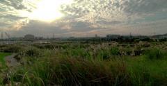 DCI 4K. Japanese pampas grass in Okinawa,Japan. Stock Footage