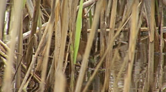 Bird Little crake finding and hunting insects walking on reeds in the water Stock Footage