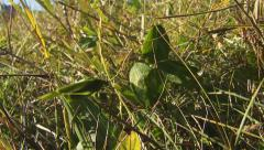 Insect katydid in the grass Stock Footage