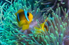 Clownfish and anemone on a tropical coral reef - stock photo