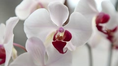 Orchids, beautiful white flower close up Stock Footage