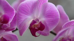 Beautiful Orchids flowers close up, exotic pink flower Stock Footage