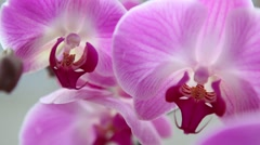 Beautiful pink Orchids tropical flowers close up Stock Footage