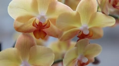 Beautiful yellow Orchids flowers close up Stock Footage