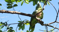 Festive Amazon Parrot Stock Footage