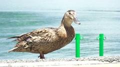 Brown Duck Walks On Pavement Near Lake Kawaguchi Japan 4K Stock Footage