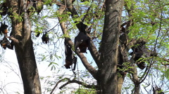 Bat hanging on a tree branch Malayan bat Stock Footage