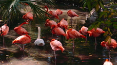 Flamingo - stock footage