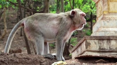 Rhesus macaque sits on a ground Stock Footage