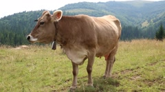 Brown cow on the grassland Stock Footage
