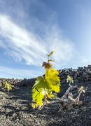 vineyard in lanzarote island, growing on volcanic soil - stock photo
