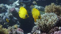 Vibrant yellow Masked Butterflyfish (Chaetodon semilarvatus) Stock Footage