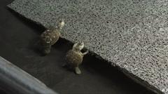 Rescued baby diamondback terrapins, ga, usa Stock Footage