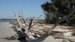 Dead trees on driftwood beach, jekyll island, ga, usa Stock Footage