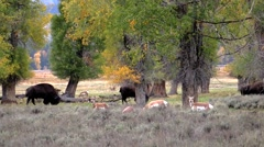 American bison and pronghorn Stock Footage