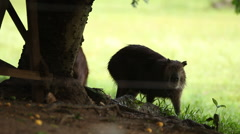 Two Capybaras Hide from The Rain Stock Footage
