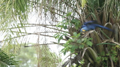 Blue Macaw Takes Flight - stock footage