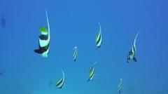 Banner-fish at the Red Sea coral reef Stock Footage