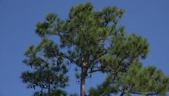 Fir tree and birds, driftwood beach, jekyll island, ga, usa Stock Footage