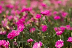 Pink carnation garden in soft pink tone Stock Photos