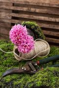 Blossoming hyacinth and garden scissors Stock Photos